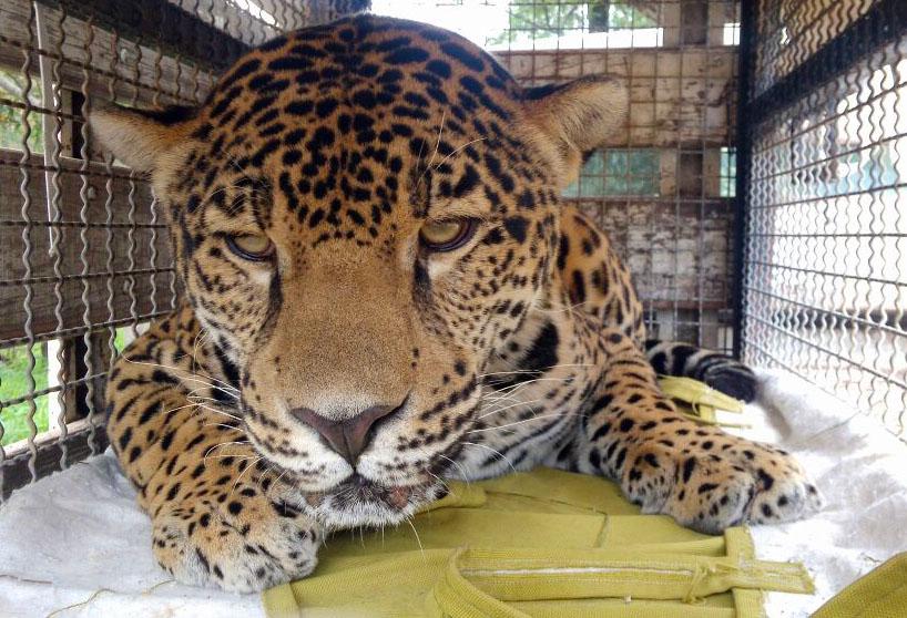 jaguar1-leon